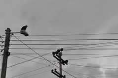 Vulture over streetlight (juanmindreau) Tags: sky bird lines animal grey streetlight pale vulture
