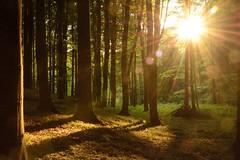 Sonnenuntergang im Buchenwald (Caora) Tags: light forest germany buchenwald sundown rügen beech
