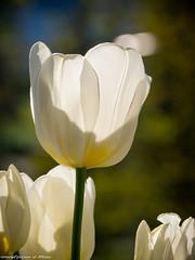 white tulips (somareja*pictures) Tags: flickr tulips bokeh pflanze blumen blume weiss frhling gegenlicht tulpen tulpe schrfentiefe heiter olympusem10 markusreber somarejapictures