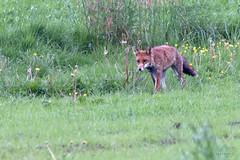renard en ballade (patrickjourdan53) Tags: nature canon vert soir roux champ matin chasse renard 70d 70300l