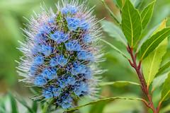 Joy (*Capture the Moment*) Tags: flowers blue macro munich mnchen bokeh details pflanzen blumen blau botanicgardens 2016 botanischergarten farbdominanz sonya7ii sonysel90m28g