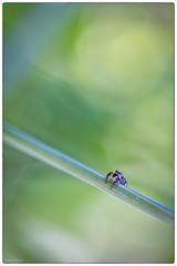 saltique minimaliste (Paloudan) Tags: spyder araigne minimaliste saltique