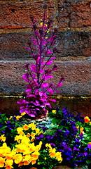 Some spring colours / Tavaszi sznek (Anoplius) Tags: france color colour stone wall spring frankreich wand monastery alsace blume szn stein mont tavasz elsass virg frhling fal sainteodile k franciaorszg frabe