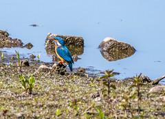 Kingfisher-1 (worlknut) Tags: birds fishing vibrant wildlife flash kingfisher pennington songbirds