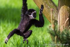 Baby white-handed gibbon (wellsie82) Tags: portrait baby nature closeup canon outdoors eos monkey infant cumbria primate safaripark zoology 6d jasonwells animalportrait barrowinfurness whitehandedgibbon largibbon hylobateslar southlakeszoo wellsie82 wwwjasonwellscouk jasonwellscouk