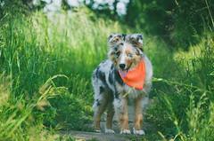 Mini Aussie Random (Alice Veresova) Tags: dog puppy summer miniaussie mydog animals randy
