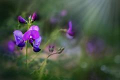 Hang on to the light... (jenni 101) Tags: park nature closeup pretty purple bokeh vibrant nikond7200