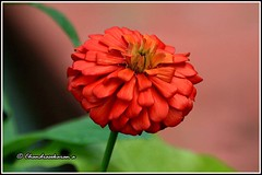 6247 - zinnia (chandrasekaran a 34 lakhs views Thanks to all) Tags: flowers india nature canon zinnia chennai eos400d