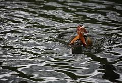 Resurface After the Dive (zaktari) Tags: mandarinduck bourne lincolnshire