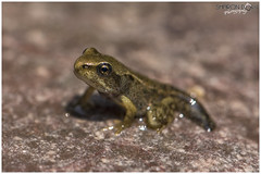 A Wee Baby Froglet Taking it's First Steps (Sharon Dow Photography) Tags: wild baby nature water pool sussex countryside pond nikon westsussex native wildlife small amphibian frog tiny horsham carnivorous tadpole firststeps froglet 2016 ranatemporaria anura amphibia ranidae chordata poolfrog commonfrog d7100 pelophylax pelophylaxlessonae europeanfrog nativebritishspecies nikond7100 sharondowphotography june2016 aweebabyfroglettakingitsfirststeps