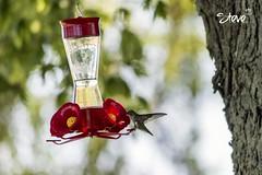 Hummingbird (Steve Stambaugh Jr.) Tags: cute bird nature beautiful outdoors backyard hummingbird tint fantasticnature amazibg