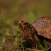 Three-toed Box Turtle Portrait
