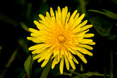 Viewfinder-49 (sven.vansantvliet) Tags: blue shadow sky flower colors yellow fleurs jaune drops weide couleurs schaduw geel bloem druppel tulp kleuren tullip paardebloem boterbloem pisbloem lentebloesembloemenbijhuis