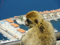 Contemplative Monkey (Jessica Splain) Tags: monkey gibraltar rockofgibraltar barbaryape barbarymacaque apesden upperrocknaturereserve