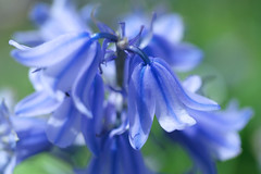 Bluebells in the Park (pallab seth) Tags: park england flower macro london nature garden spring dof bokeh bluebell barking signofspring springgarden 2016 hyacinthoidesnonscripta samsungnx1 samsung60mmf28macroedoisssalens