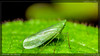 leaf hopper (kelvinj_funlab) Tags: macro insect nikon tamron leafhopper kenkoextension d810 funlab nissini40 kelvinjong tamron90mmf28spdimacro11vcusd