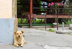 Dog at the pub. (mathematikaren) Tags: dog pub village serbia lazy balkans easterneurope vojvodina donauschwaben ravnoselo schowe vojvodenia