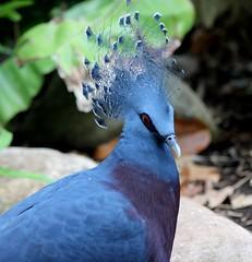 Victoria Crowned Pigeon (jmaxtours) Tags: toronto ontario zoo pigeon torontozoo newguinea torontoontario victoriacrownedpigeon