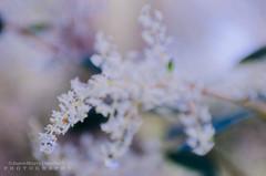 Wild Flowers (JamieMarie Oaksford) Tags: wildflowers closeupshots yanchepnationalpark macroshots macro closeup nature nikon nikond7000 northofperth naturalcolours outdoorphotography westernaustralia australia yanchep yanchepnp