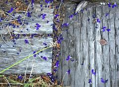 Purple Petals (Rock Water) Tags: wood purple lavender flowerpetals railroadties