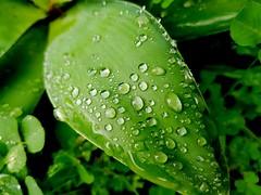 Raindrops - Galaxy S7 (Jonno Cass) Tags: plants green wet rain garden moss flickr phone samsung australia galaxy s7 gully ferntree fliter