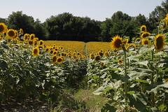 in mezzo ai girasoli - Pianello di Ostra (walterino1962) Tags: alberi ombre semi erba luci terra petali riflessi ancona girasoli gambi arbusti paliecavidellacorrente pianellodiostra