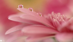 Pretty in pink (Trayc99) Tags: pink flower macro reflection water floral droplets petals depthoffield explore gerbera floralart beautyinnature explored beautyinmacro