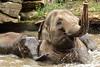 Asiatic Elephants (K.Verhulst) Tags: elephant rotterdam blijdorp elephants blijdorpzoo olifanten diergaardeblijdorp aziatischeolifant asiaticelephants aziatischeolifanten