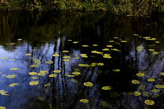 Lilies and broken light (tiempoasm) Tags: worcestercollege oxford nature water refle reflection color texture waterlillies light