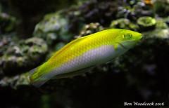 Yellow Coris Wrasse (SausageArm) Tags: fish water yellow aquarium nikon marine aqua tank salt banana salty aquatic reef reefs wrasse aquatics coris d90 18105mm