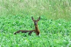 Roe Deer (Rich27B) Tags: tokinaaf400mmf56 nikond200 wildlife roedeer nature deer southyorkshire