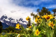 Teton Spring (Theaterwiz) Tags: flowers mountains yellow wildflowers tetons mountainrange grandtetonnationalpark dornans moosewyoming theaterwiz michaelcriswellphotography