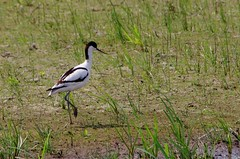IMGP6971 Avocet, Welney Washes, June 2016 (bobchappell55) Tags: wild bird nature wildlife reserve wetlands trust wwt wildfowl avocet welney wader washes