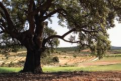 Encina centenaria de La Molata. / La Molata's centennial holm oak. (Recesvintus) Tags: espaa naturaleza tree primavera landscape spain natura paisaje rbol springtime lamancha albacete holmoak encina airelibre otdoors alcadozo lamolata