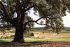 Encina centenaria de La Molata. / La Molata's centennial holm oak. (Recesvintus) Tags: españa naturaleza tree primavera landscape spain natura paisaje árbol springtime lamancha albacete holmoak encina airelibre otdoors alcadozo lamolata