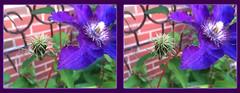 Clematis 2 - Crosseye 3D (DarkOnus) Tags: flower macro closeup stereogram 3d crosseye phone pennsylvania clematis cell stereo bloom stereography buckscounty huawei crossview mate8 darkonus