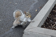 Grey squirrel hoping for food [photo 4/4 ] (behinddreaming) Tags: trinitycollege dublin squirrel grey park ireland