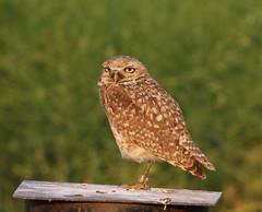 Burrowing Owl (fethers1) Tags: bird owl burrowingowl coloradowildlife rockymountainarsenalnwr rmanwrwildlife