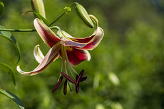 20160626-IMG_4260 (pixelGeko) Tags: flower lily atlantabotanicalgarden scheherazade