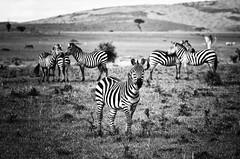 tanzania (peo pea) Tags: africa blackandwhite bw nature tanzania bush wildlife bn safari serengeti bianconero savana zebre
