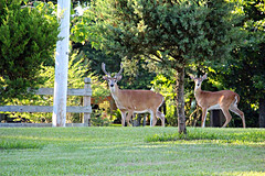 (BrandonWaterfield) Tags: life wild buxton wildlife deer hatteras cape outer banks obx