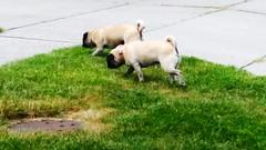 Dogs Pugsofinstagram Pug Dog Hanging Out (sobieniak) Tags: dog dogs pug hangingout pugsofinstagram