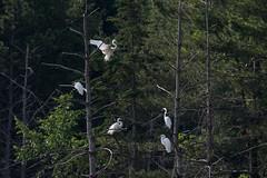 (Rick 2025) Tags: birds greategrets littlecataraquicreek