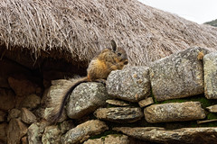 Dzika wiskacza na murach Machu Picchu | Viscacha on the walls of Machu Picchu