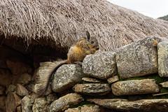 Dzika wiskacza na murach Machu Picchu | Viscacha on the walls of Machu Picchu