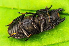 Stag beetle (sharty40) Tags: black stag beetle underside armour ticklemybelly