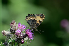 Tortoishell butterfly Upton NWT (JohnMannPhoto) Tags: upton nwt insects tortoishell butterfly thistle norfolk