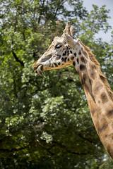 Girafe baveuse (flutalute) Tags: grand tache girafe afrique