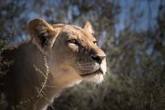 Lioness (loveexploring) Tags: africa kalahari kgalagaditransfrontierpark pantheraleo southafrica bigcat lion lioness predator wildlife