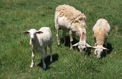 501's output (baalands) Tags: summer hair twins sheep pasture lambs dairy grazing katahdin ewe yearling crossbred lacaune